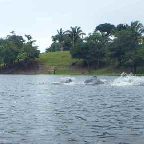 Flussdelphine: der Beweis ihrer Existenz