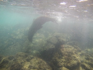 Der tanzende Seeloewe