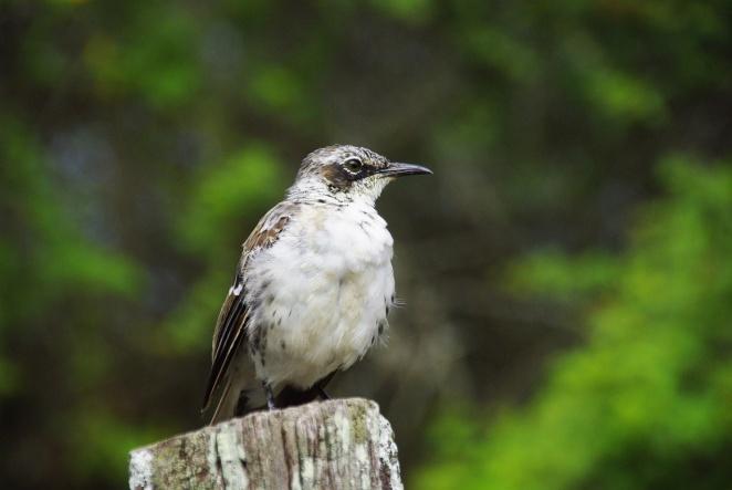 Der Mocking/Bird imitiert andere Vogellaute.