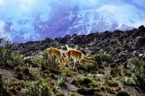 Vicunas vor dem Chimborazo