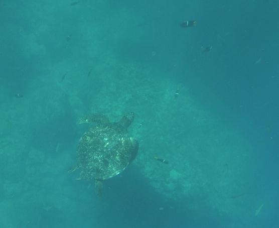 Schildkröte, sehr groß