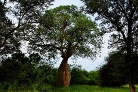 unverkennbar: der flaschenbaum.